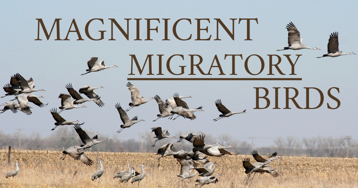 Magnificent Migratory Birds thumbnail
