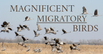 Magnificent Migratory Birds